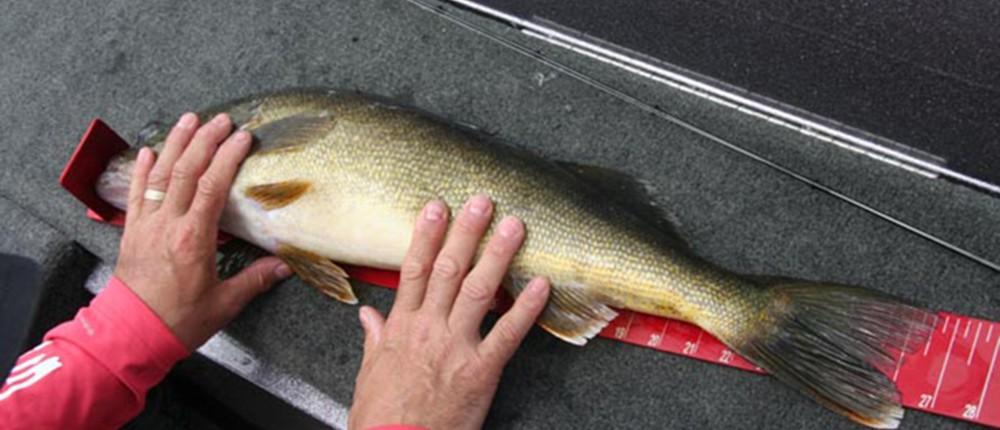 27-inch Walleye on Bumpboard